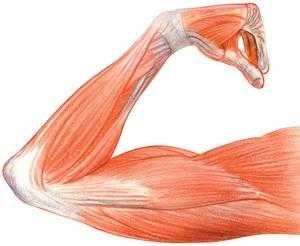 otot banyak pembulu darah