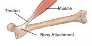 tendon bagian yang lebih padat dari otot