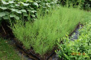 tanaman tamariska